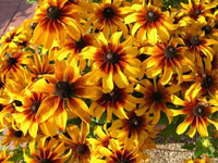 "Rudbeckia ""Rising Sun as Chestnut Gold"""