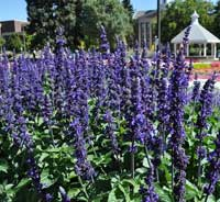"Salvia ""Big Blue"""